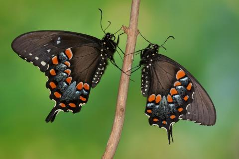 Papilio troilus Pärchen #2