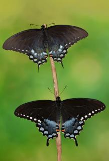 Papilio troilus Pärchen