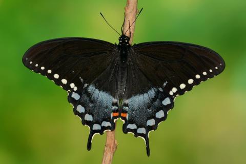 Papilio troilus Männchen