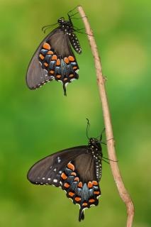 Papilio troilus Pärchen #4