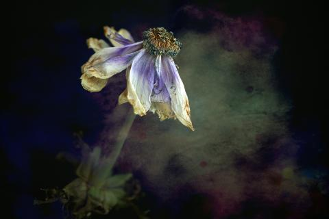 Anemone verblüht