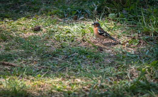 Kleiner Buntfink