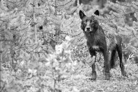 The Lonely Wet Wolf