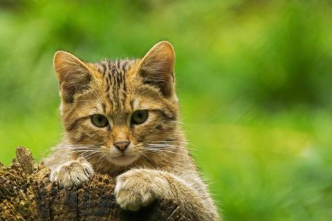 Junge europäische Wildkatze