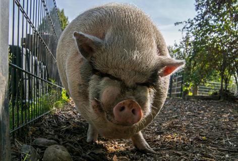 Schwein gehabt... Boris
