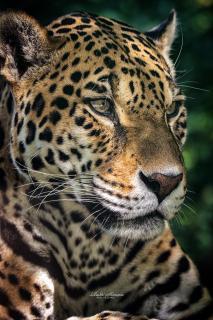 Porgy - Jaguar