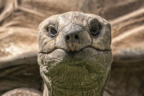 Bernhard - Seychellen Riesenschildkröte