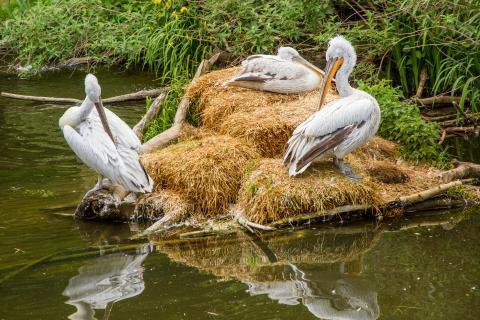 Pelikane bei der Hygiene