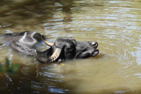 Wasserbüffel...
