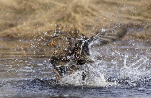 swedish duck having fun