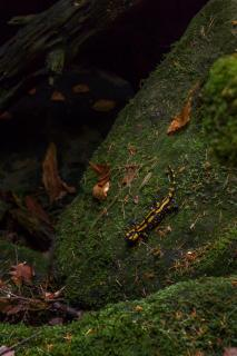 Salamanda