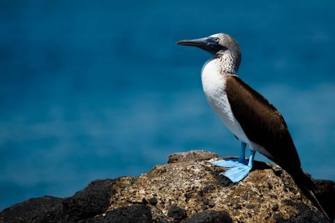 Blaufusstölpel Galapagos