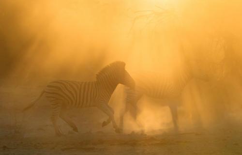 Ghost Zebras