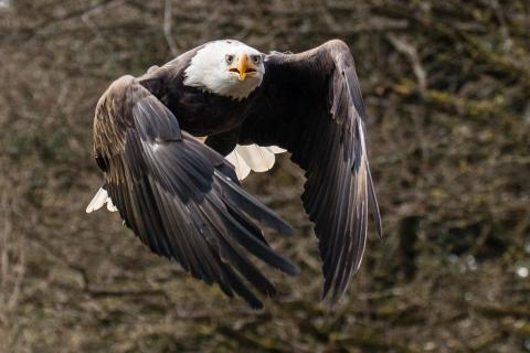 Weiskopfseeadler im Flug