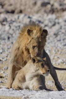 Löwen-Liebe