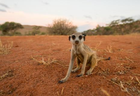 Kalahari - Meerkat