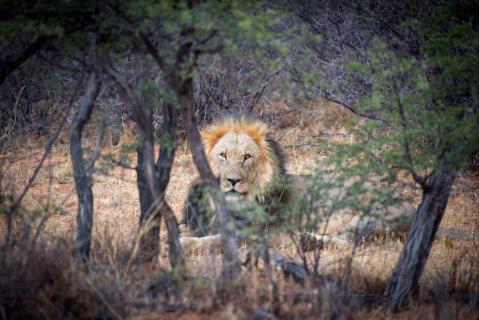 Afrika - Löwe