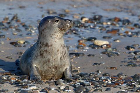 Kleiner neugieriger Seehund