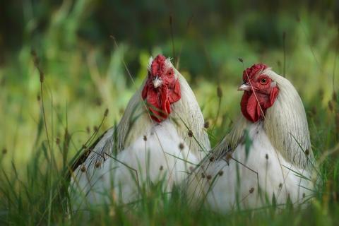 glückliche Hühner * *