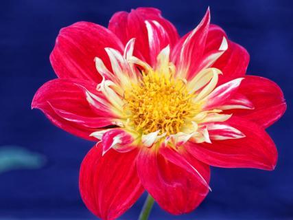 FotoUS - Blütentraum blau/rot/gelb