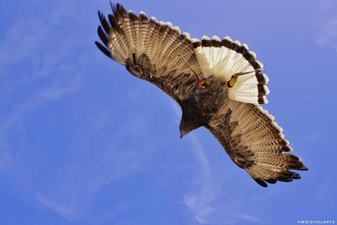 Adler flight