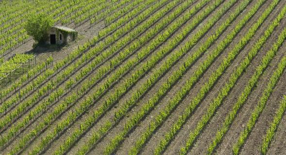 Weinberg bei Montalcino - Toskana