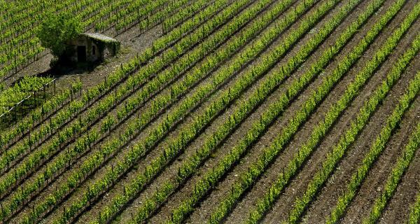 Weinfeld bei Montalcino - Toskana