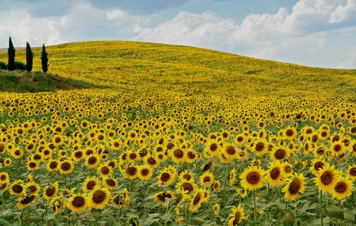 Sonnenblumen bei Quinciano Toskana