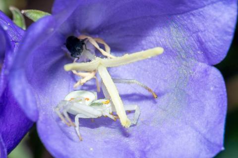 Krabbenspinne in Glockenblumenblüte
