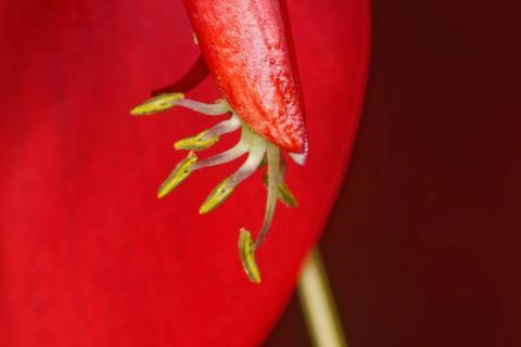 Korallenstrauch-Blütendetail