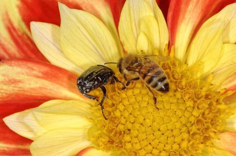 Trauerrosenkäfer und Biene