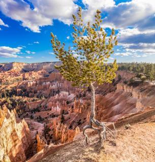 Baum im Bryce Canyon