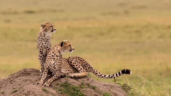 Geparden-Mutter mit Nachwuchs