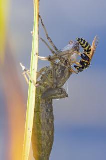 Wespe auf Libellenlarve
