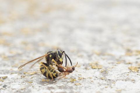Wespe mit fliegender Ameise