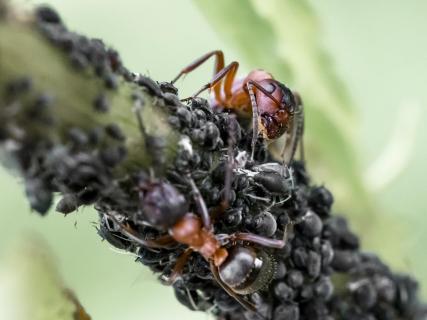 Pflege der Blattlausherde