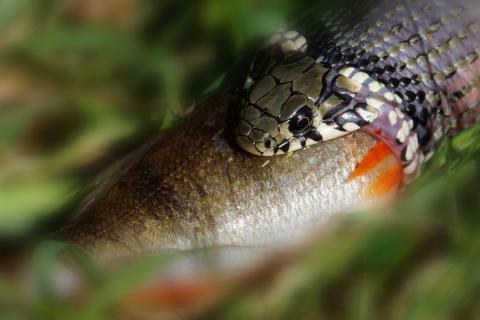 Ringelnatter frißt Fisch