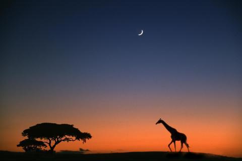 2 Giraffe