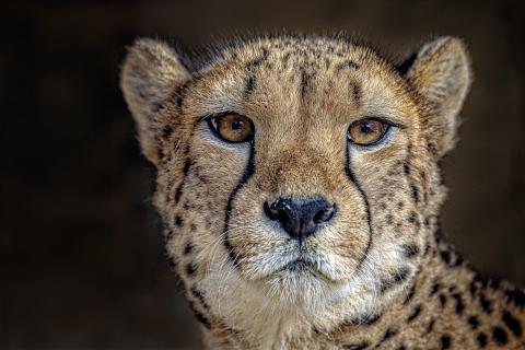 Gepard Portrait