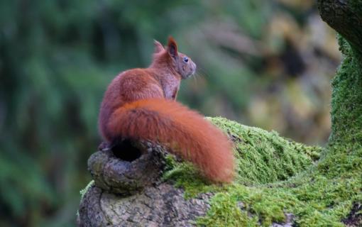 Eichhörnchen auf der Suche nach Nüssen