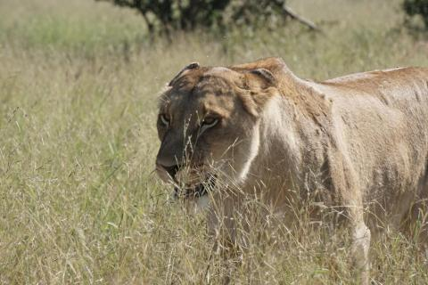 Löwin im Kruger National Park