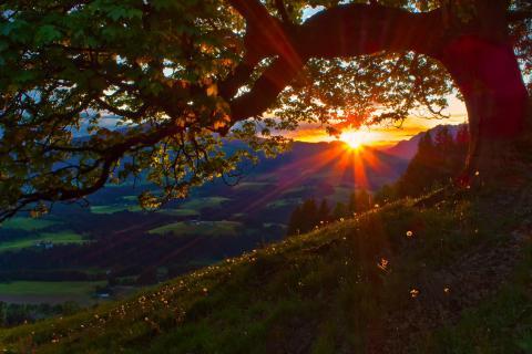 Pusteblumen im Abendlicht