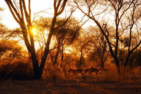 Oryxantilopen im Abendlicht