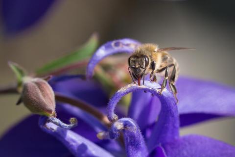 Biene auf Akelei