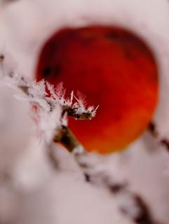 Frozen Moments - Red Apple