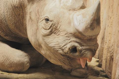 Rhinozerosportrait