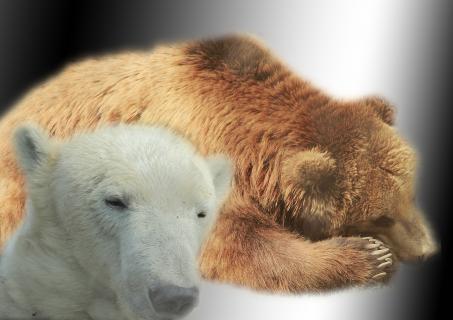 Müde Bären