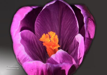 lila Krokusblüte mit Malfilter