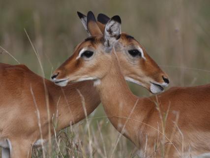 Impalaantilopen