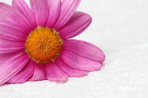 Margeriten rosa